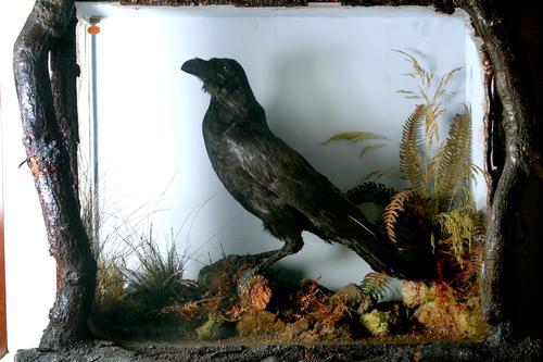 Grip, Charles Dickens' Pet Raven