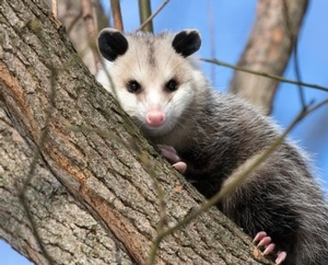 Smell - Opossums! Virtually
