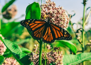 Day of the Dead Monarch Migration Talk