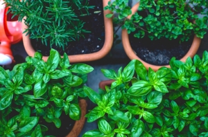The Culinary Herb Garden