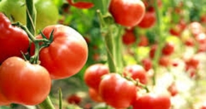 Talking About Tomatoes! An Online Event for Children & Caregivers