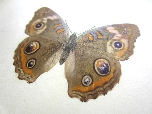 Butterfly transfer in Sherman Foote Denton's <i>As Nature Shows Them</i>, 1900