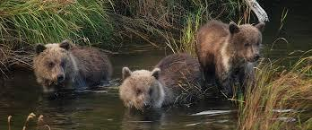 Bears at the Katmai National Park and Preserve