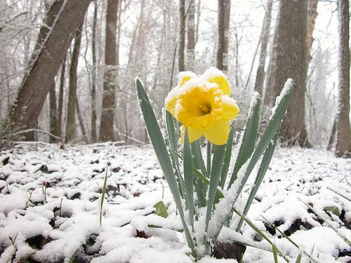 Spring flowers bring... snowstorms?