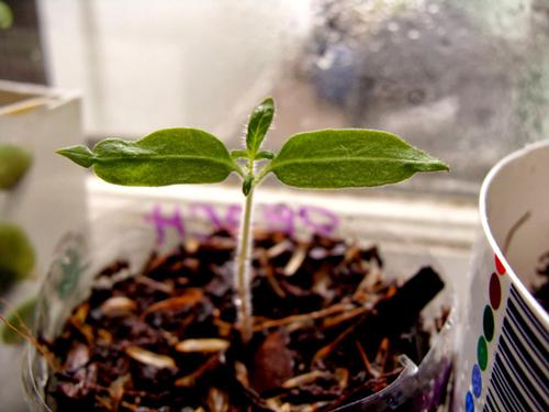 Starting a tomato seedling indoors is a great way to prep for your spring garden.