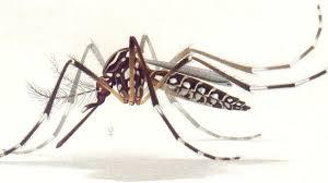 The Zika virus is transmitted to people primarily by Aedes aegypti mosquitoes.