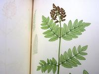 Nature print by Henry Bradbury from <i>The Nature-printed British Ferns</i>, octavo edition, 1863