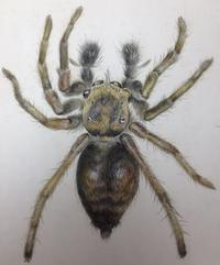 """Jumping Spider,"" by Beatrix Potter"