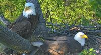 Mr. President and The First Lady, bald eagles who live at the National Arboretum in Washington D.C.