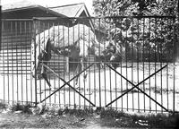 A camel at the Philadelphia Zoo in 1900